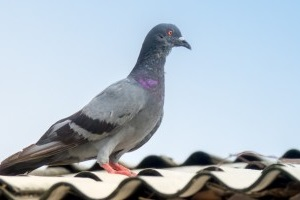 Pigeon Control, Pest Control in Stanmore, Queensbury, HA7. Call Now 020 8166 9746