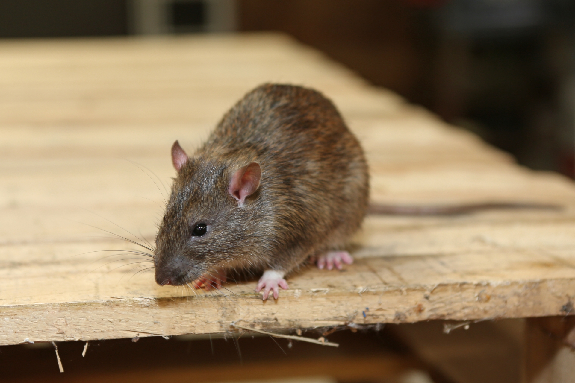 Rat Control, Pest Control in Stanmore, Queensbury, HA7. Call Now 020 8166 9746