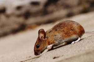 Mouse extermination, Pest Control in Stanmore, Queensbury, HA7. Call Now 020 8166 9746